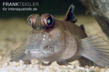 Schlammspringer, Periophthalmus barbarus (Brackwasser, Terrarium)