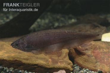 Afrikanischer Messerfisch, Xenomystus nigri  – Bild 3