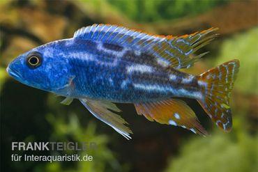 Blauer Leopard-Maulbrüter, Nimbochromis fuscotaeniatus, DNZ