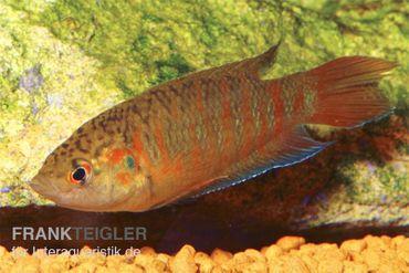"""Paradiesfisch rot, Macropodus opercularis """"Super rot"""""""