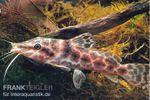 Augenfleckwels, Auchenoglanis occidentalis 001