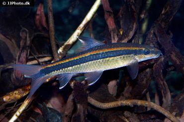 Schönflossen-Algenfresser, Epalzeorhynchus kallopterus – Bild 1