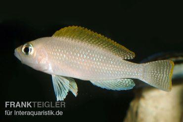 Schneckenbuntbarsch, Neolamprologus caudopunktatus, DNZ