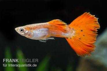 Guppy Männchen neonrot, Poecilia reticulata – Bild 1