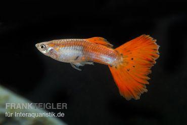 Guppy Männchen neonrot, Poecilia reticulata – Bild 2