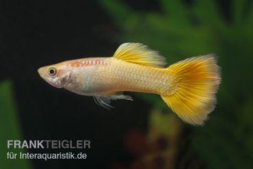 Guppy Männchen neongelb, Poecilia reticulata – Bild 1
