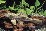 Wels L 116 Deltaschwanz-Harnischwels, Hypostomus cf. emarginatus 001