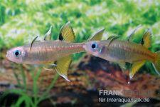 Schmetterling-Regenbogenfisch, Pseudomugil signifer