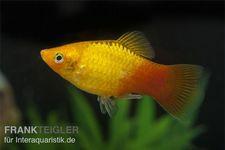 Glühlicht Platy Gold, Xiphophorus maculatus – Bild 1