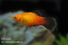 Deutschland-Platy, Xiphophorus maculatus – Bild 1