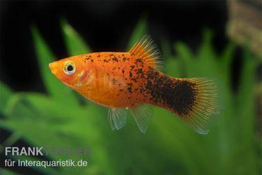 Roter Calico Platy, Xiphophorus maculatus