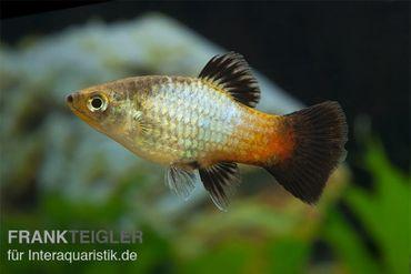 Regenbogen-Platy Wagtail, Xiphophorus maculatus – Bild 1