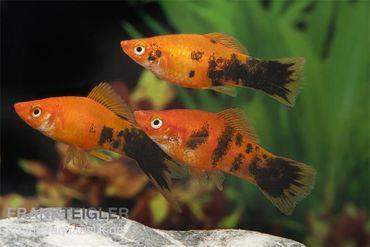 Schwertträger Marmor orange, Xiphophorus helleri – Bild 1