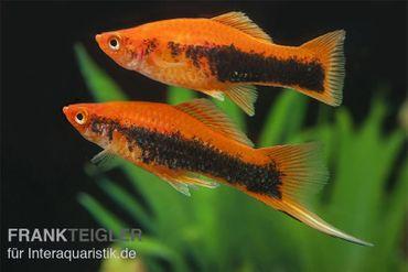 Schwertträger Tuxedo (orange), Xiphophorus helleri – Bild 1