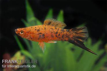 Schwertträger Berlin, Xiphophorus helleri