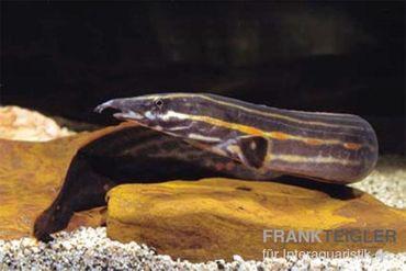 Feuerstachelaal, Mastacembelus erythrotaenia, ca. 20 cm