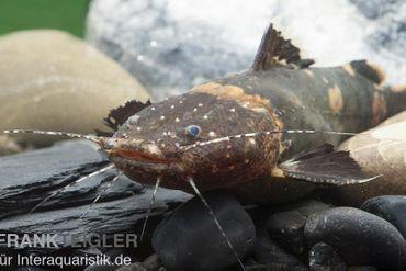 Frosch-Fettwels, Pseudopimelodus raninus raninus – Bild 1