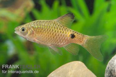 Schleier-Prachtbarbe, Puntius conchonius