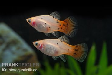 Platy silber-pink, Xiphophorus maculatus – Bild 1