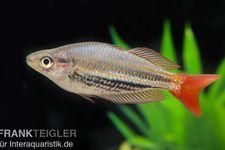 Rotgestreifter Regenbogenfisch, Melanotaenia splendida rubrostriata – Bild 1