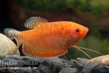 Goldfadenfisch rotgold, Trichogaster trichopterus DNZ! – Bild 1