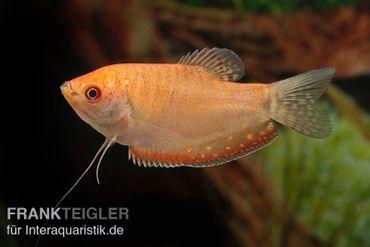 Goldfadenfisch rotgold, Trichogaster trichopterus DNZ! – Bild 3