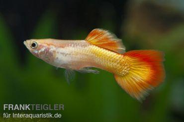 Guppy Männchen Flame, Poecilia reticulata