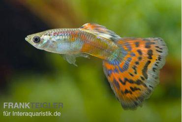 Guppy Männchen Red Mosaik, Poecilia reticulata