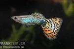 Guppy Männchen Leopard, Poecilia reticulata  001