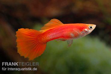 Guppy Männchen Chili Red, Poecilia reticulata