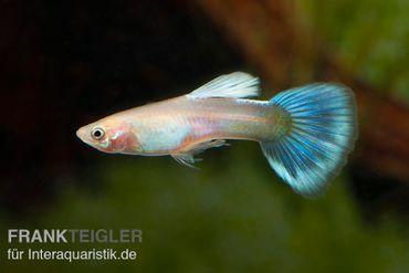 Guppy Männchen Powder Blue, Poecilia reticulata  – Bild 1
