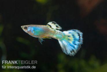 Guppy Männchen Blue Sapphire, Poecilia reticulata  – Bild 1