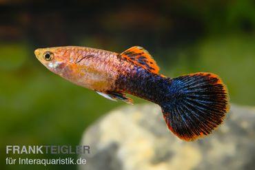 Guppy Männchen Shakti Batik, Poecilia reticulata  – Bild 1