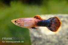 Guppy Männchen Shakti Batik, Poecilia reticulata  – Bild 6
