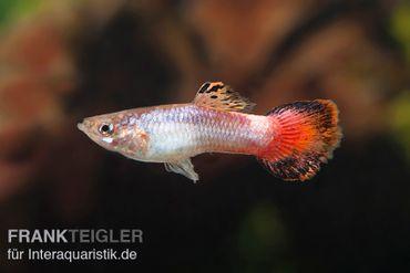 Guppy Männchen Coral Tail, Poecilia reticulata
