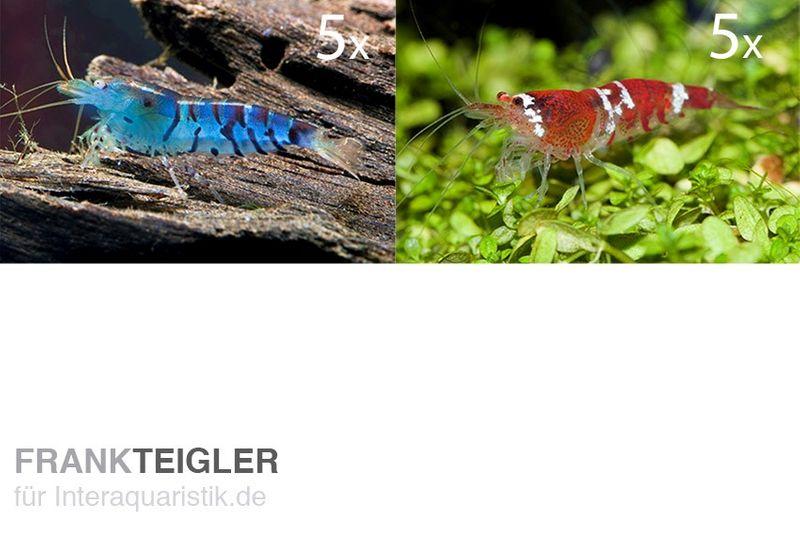 Tibee starterpack 5 x blaue tigergarnele 5 x crystal for Gartenteichfische arten