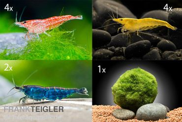 Bunte Truppe: 10x Neocaridina im Farbmix + Mooskugel – Bild 1