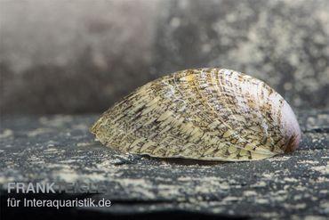 Muschelschnecke, Septaria porcellana – Bild 3