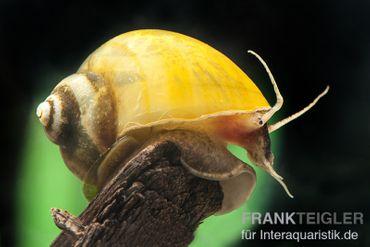 Gelbe Asia-Apfelschnecke, Pila polita – Bild 3