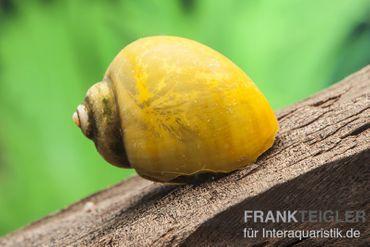 Gelbe Asia-Apfelschnecke, Pila polita – Bild 2