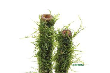 Bamboo Stick mit Javamoos M, Vesicularia dubyana auf Bambus-Stab, 20 cm – Bild 2