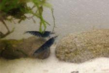 Tiger-Bundle: 10x Blaue Tigergarnele, Caridina cantonensis + Portion Javamoos – Bild 10