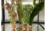 Schwebealgen-Bundle: 2x Ornamentmuscheln + 1 Portion Büschelfarn + 4 Bund-Pflanzen 001