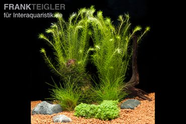 Aquarienpflanzen-Sortiment für Nano-Aquarien 30-50 Liter