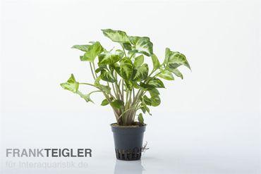 Weisse Schmetterlingstute, Syngonium White Butterfly (Terrariumpflanze), Topf
