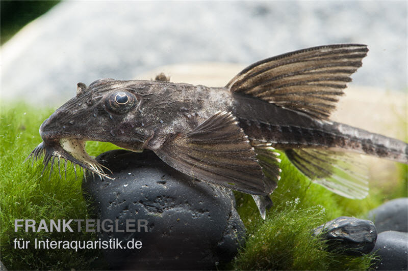 Maulbr tender harnischwels loricaria simillima tiere for Zierfische welse