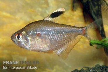 Socolofs Kirschflecksalmler, Hyphessobrycon socolofi
