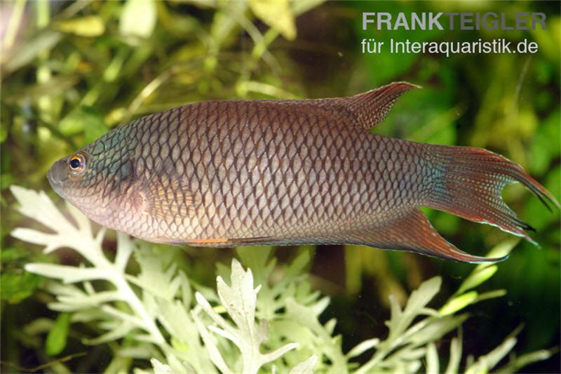 Rotr cken makropode macropodus erythropterus tiere for Fadenfische zucht