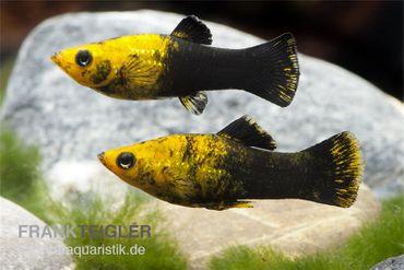 Gold Schwarz Molly, Poecilia sphenops