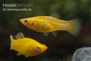 Roter Molly, Poecilia sphenops